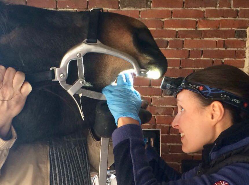 Gründliche Untersuchung des Pferdemauls mit Mulgatter